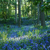 bluebells - Lickey Hills